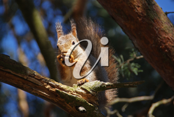 Royalty Free Photo of a Squirrel Eating a Nut