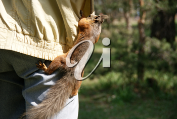 Royalty Free Photo of a Squirrel in a Pocket
