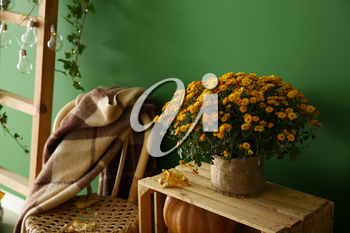Beautiful chrysanthemum flowers on wooden box near color wall