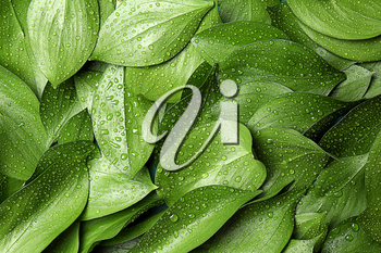 Green tropical leaves with water drops as background