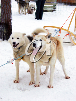 Royalty Free Photo of Sleigh Dogs