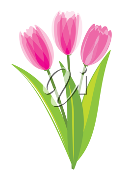 Royalty Free Clipart Image of Pink Tulips on White background