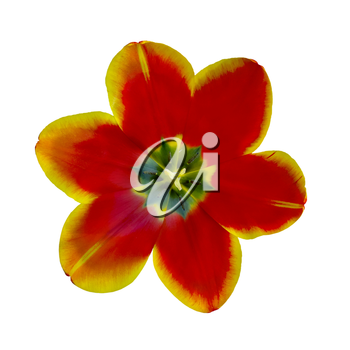 open tulip flower closeup isolated on white background