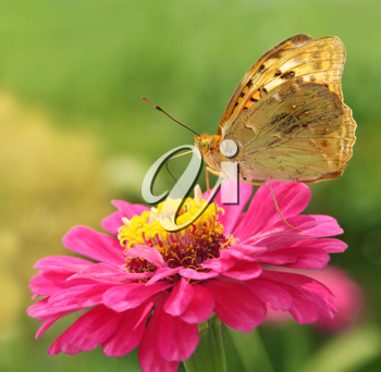Variegated butterfly sits on a pink flower closeup