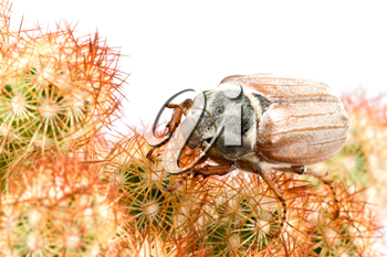Royalty Free Photo of a Beetle on a Cactus
