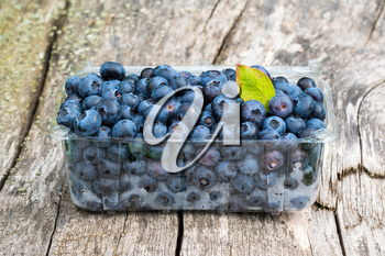 Bog whortleberry (Vaccinium myrtillus)  freshly picked berries in a plastic boxe