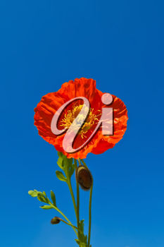 Orange poppy with buds and green leaves isolated against the blue sky