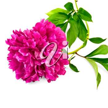 Bright pink peony with green leaves isolated on white background