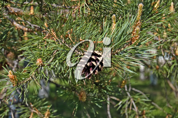 pinecone on the background of flowering branches