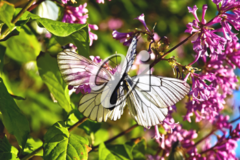 Two white butterflies on a background of lilac flowers, green leaves and blue sky