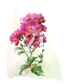 watercolor illustration of the pink roses