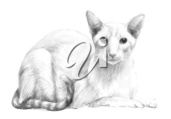 Sketch of the purebred cat. Portrait of the cat was drawn with a pencil manually. Vintage drawing.