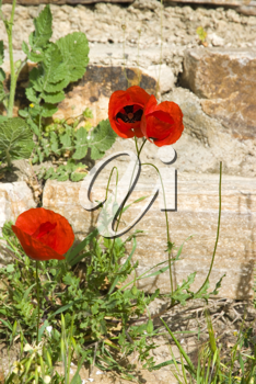 Royalty Free Photo of Poppies