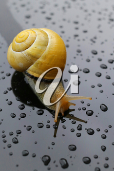 Snail after the rain on a wet surface with some water drops