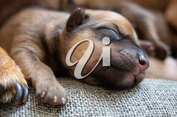 Newborn brown puppy with happy face over fabric