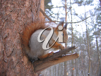 Royalty Free Photo of a Squirrel Sitting in a Tree