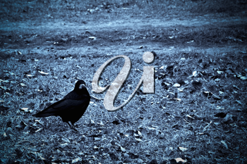 Crow on withered grass. Dark photo in cyan tones