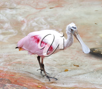 Royalty Free Photo of a Roseate Spoonbill in Water