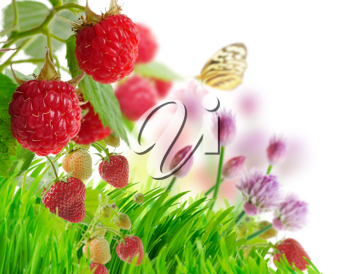 Royalty Free Photo of Raspberry and Strawberry Plants