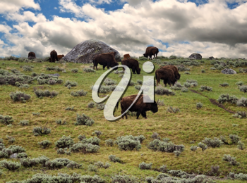 Royalty Free Photo of Bison Feeding on a Mountainside