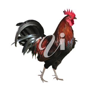 Royalty Free Photo of a Rooster