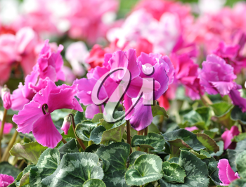 Red and pink cyclamen flowers for background