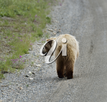 Brown Bear Walking On A Side Of A Road