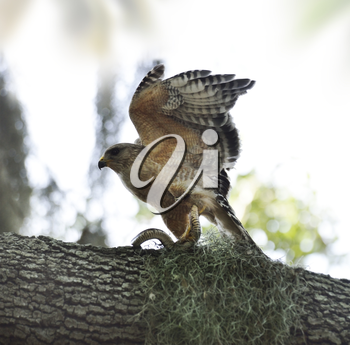 Red-shoulder Hawk With Snake On A Tree