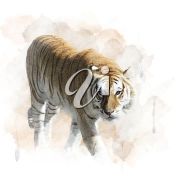 Watercolor Digital Painting Of Walking Tiger