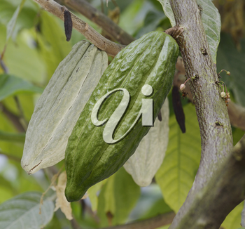 Cocoa Tree With Fruits,Close Up