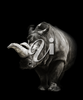 Portrait Of A Rhinoceros On Black Background