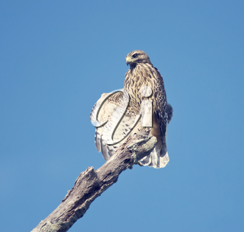 Red Shouldered Hawk stretching its wings