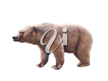 Brown bear watercolor isolated on white background