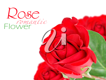 Royalty Free Photo of Red Roses