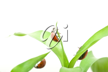 Royalty Free Photo of Ladybugs on Grass