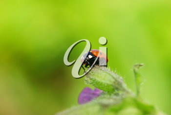 Royalty Free Photo of a Ladybug on a Flower
