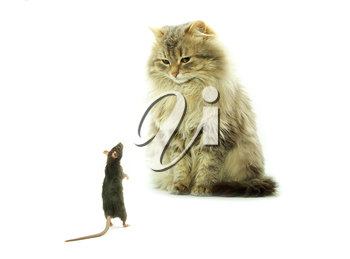 funny rat and cat  isolated on white background