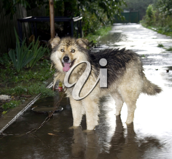 A dog stands in a puddle in the rain