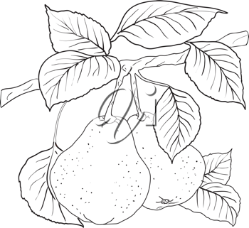 Royalty Free Clipart Image of Pears