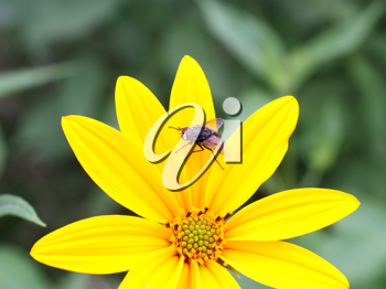 The black fly sits on a yellow flower on its big petals