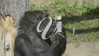 Mountain gorilla sits and eats a tree branch.
