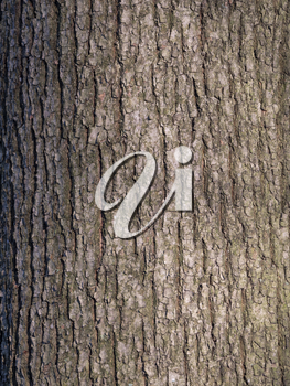 The bark of pine tree, background