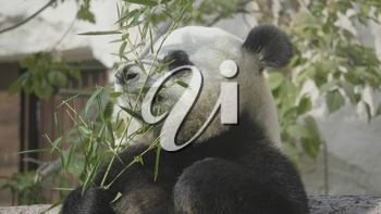 Panda goes on a background of green grass.
