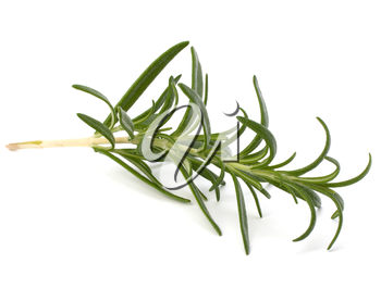 Sweet rosemary leaves isolated on white background