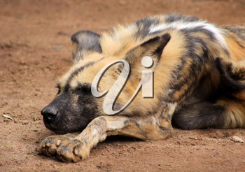 Royalty Free Photo of an African Wild Dog