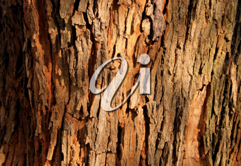 Royalty Free Photo of a Red Brown Tree Bark Background