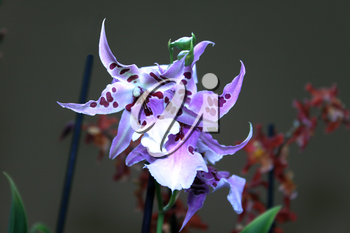 Colorful Orchid Species Spotted Bright Blue Purple Picture