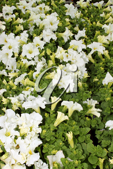 Flora a Bright White Flower Display Picture