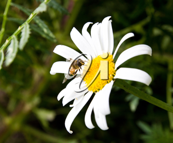 The bee on a camomile collects honey