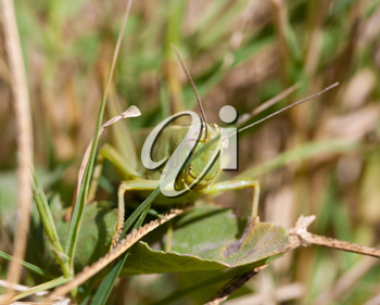 green grasshopper in the grass . macro